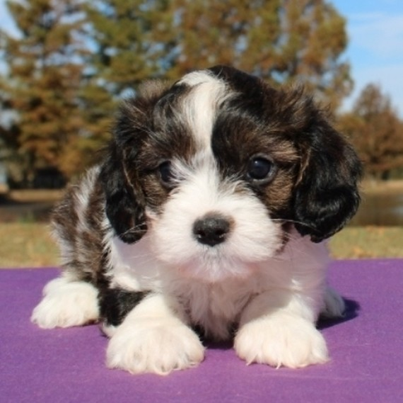 how much is a cavapoo dog