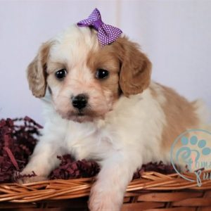 cheap cavapoo puppies for sale near me