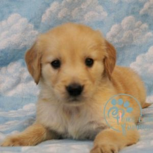 Golden Retriever dogs for homes