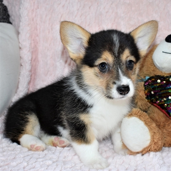 Corgi pups online adoption