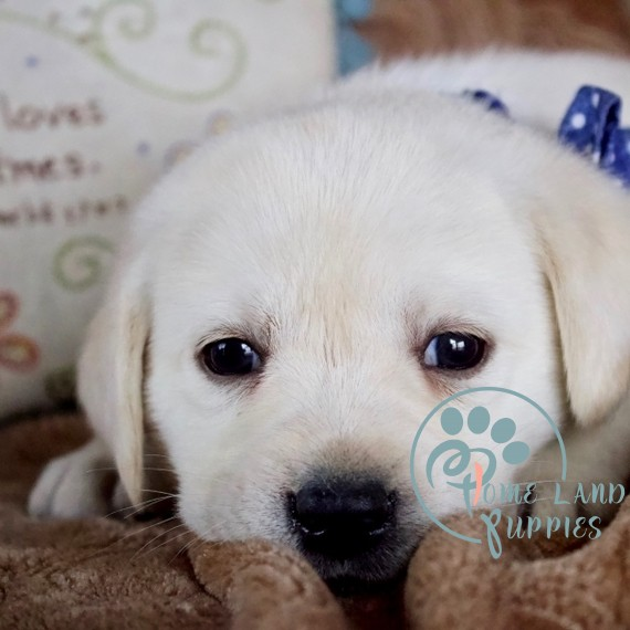 labrador puppies for sale near me