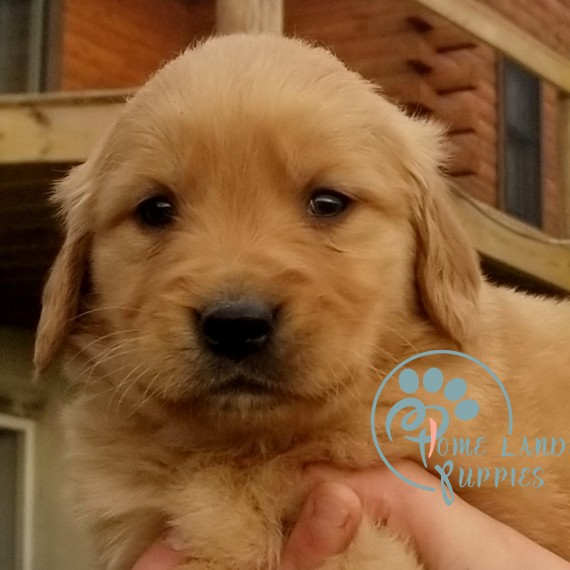 puppies for sale in nc