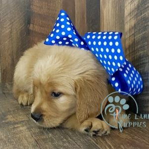 Golden Retriever for sale in USA