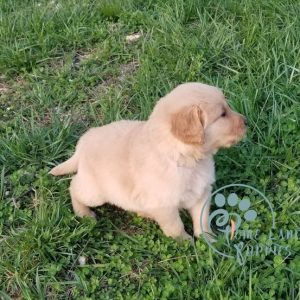 Adopt Golden Retriever Online