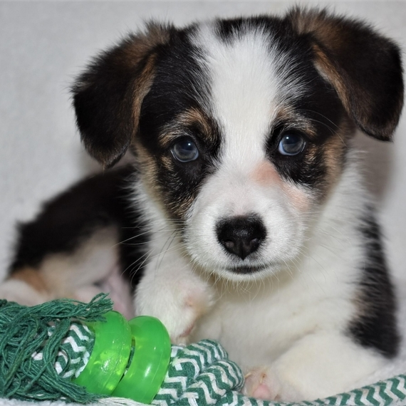 Welsh Corgi Available