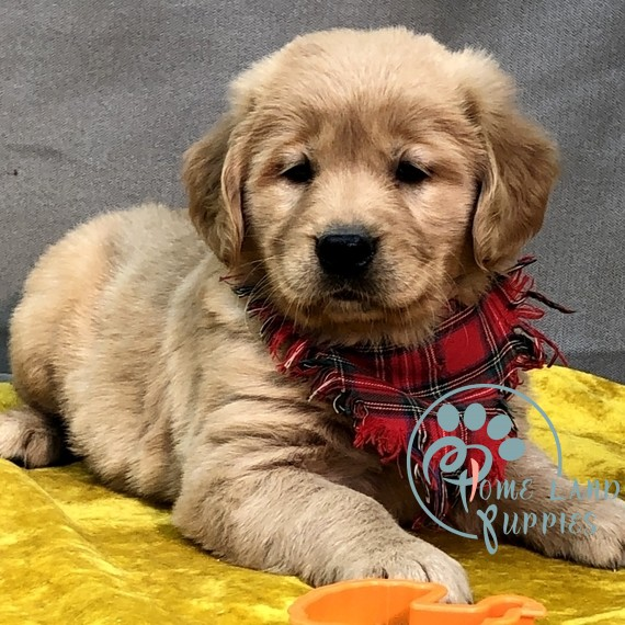 Available golden retriever puppies