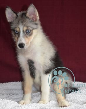 pomsky puppy finder