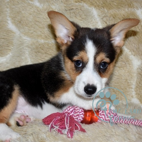 baby corgis for sale