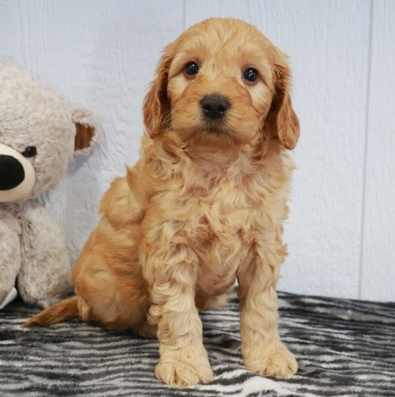 Goldendoodle mini near me