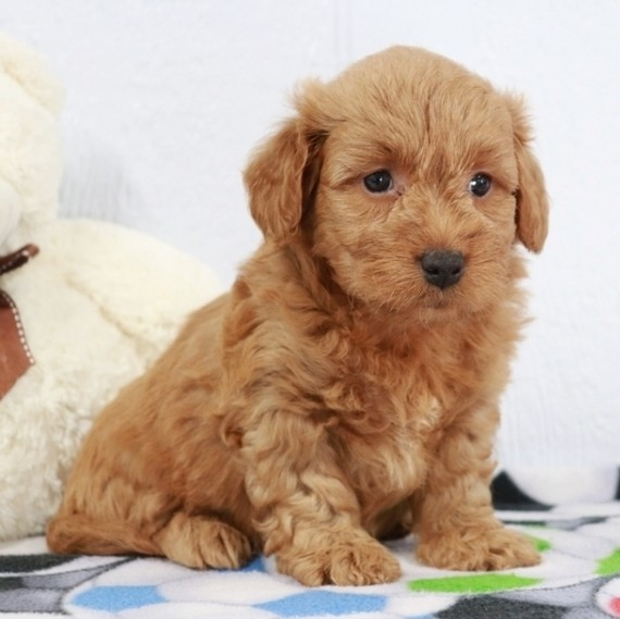 How much is a miniature goldendoodle