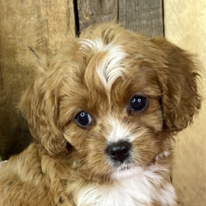 cavapoo puppies georgia