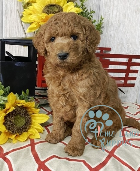 large goldendoodle puppies for sale