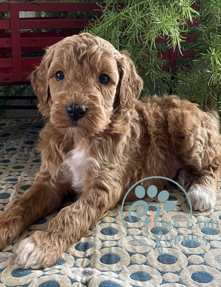 goldendoodle puppies for sale in pa