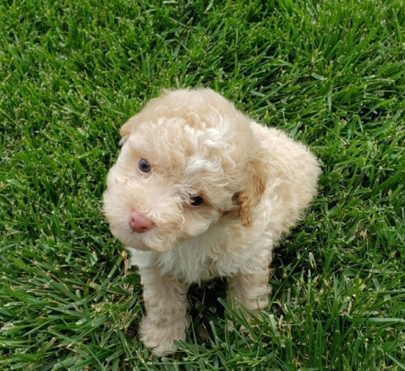 aussiedoodle puppies for sale california