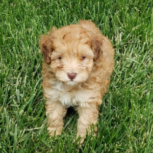 Aussiedoodle puppies for sale near me
