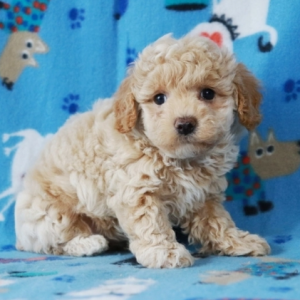 maltipoo puppies near me